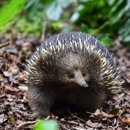 Echidna sitting on leaves