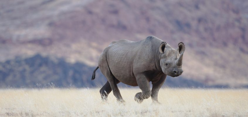 A high-tech battle to protect the black rhino