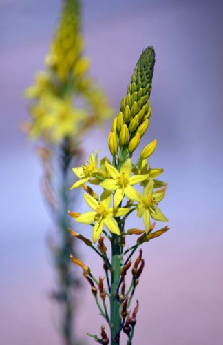 The small yellow flowers of the Bulbine lily