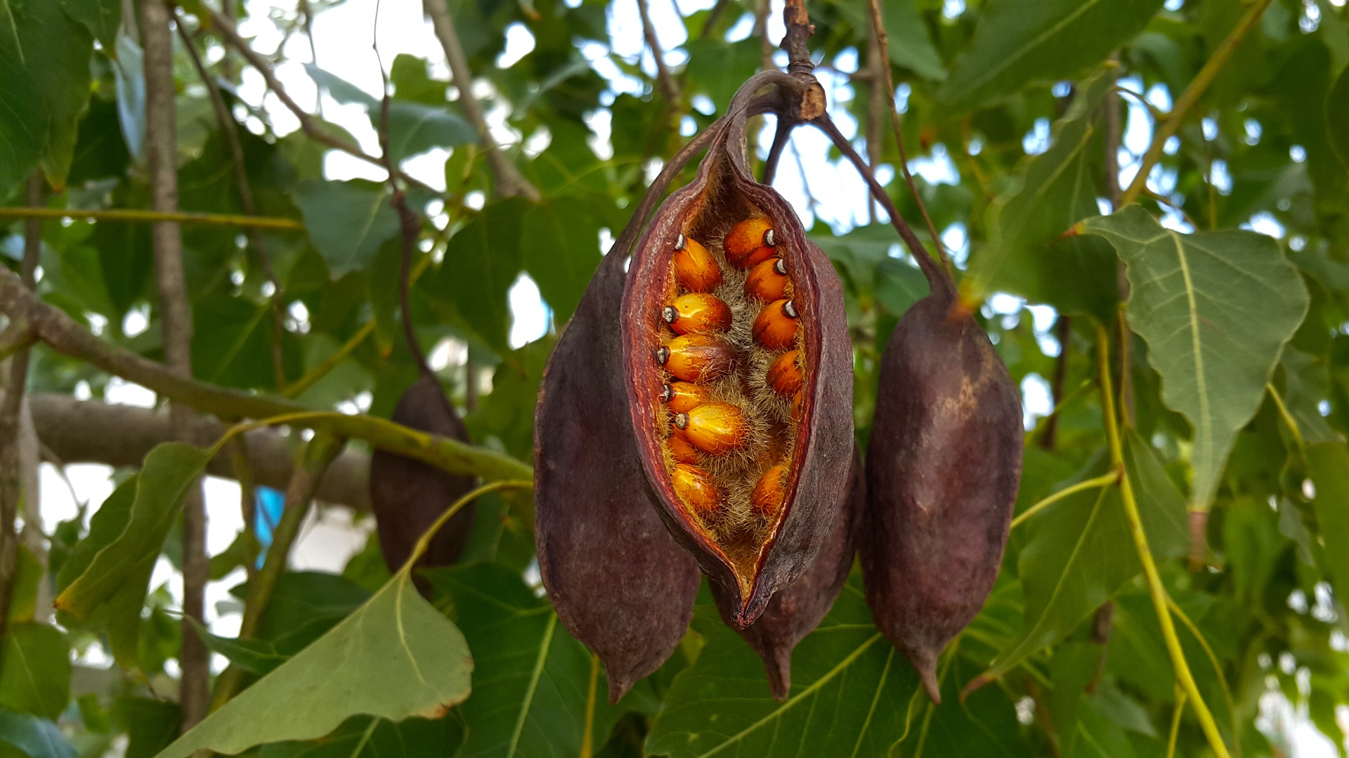 Seed pod from a black kurrajong tree that has opened to show orange seeds
