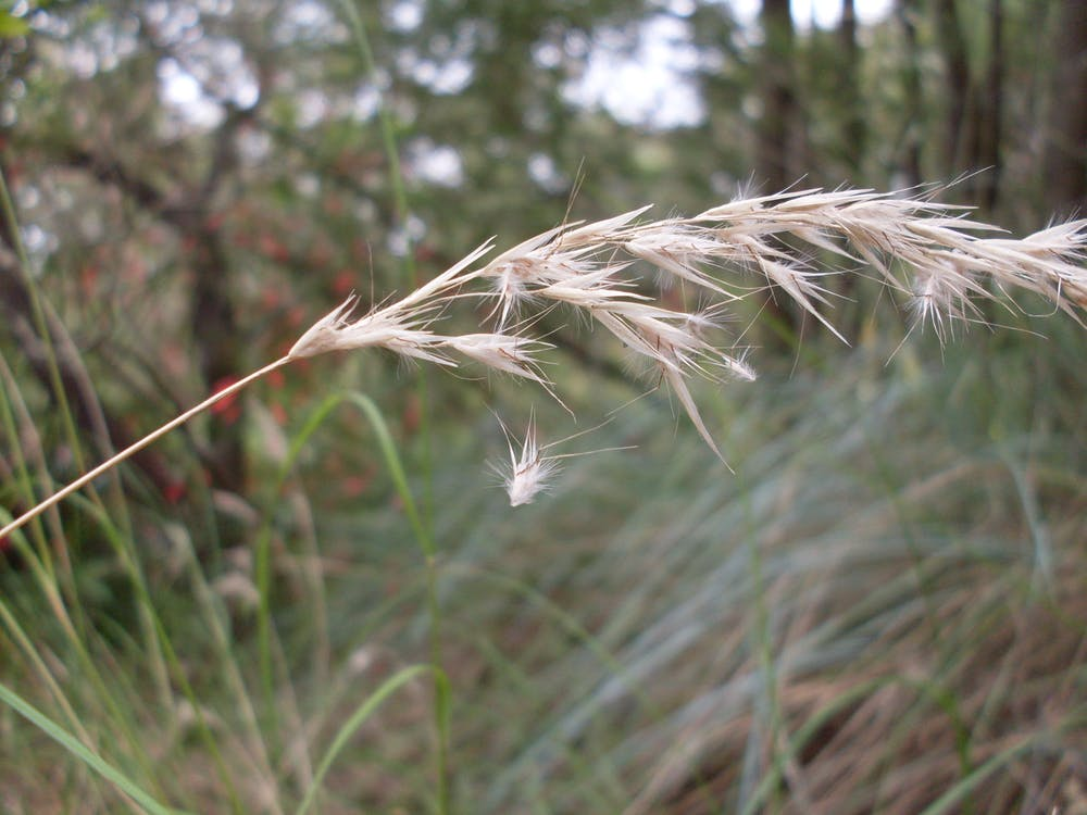 A stalk of wallaby grass showing seeds falling