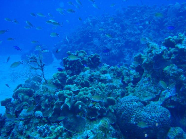 Coral reef that Damselfish use to farm.