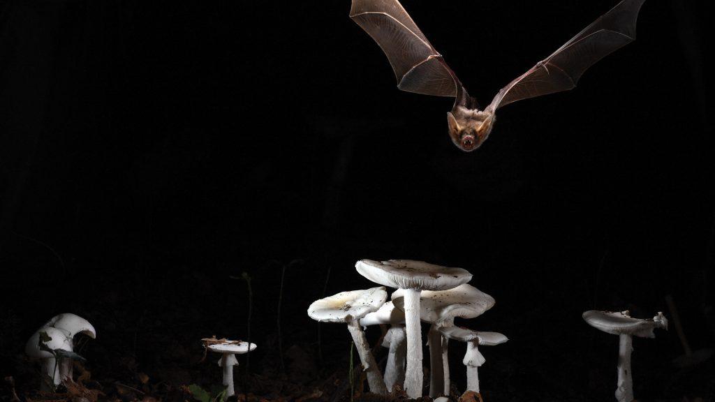 Myotis Myotis bat flying over fungi