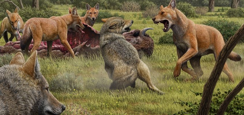 Stark legacy: secrets of dire wolves revealed