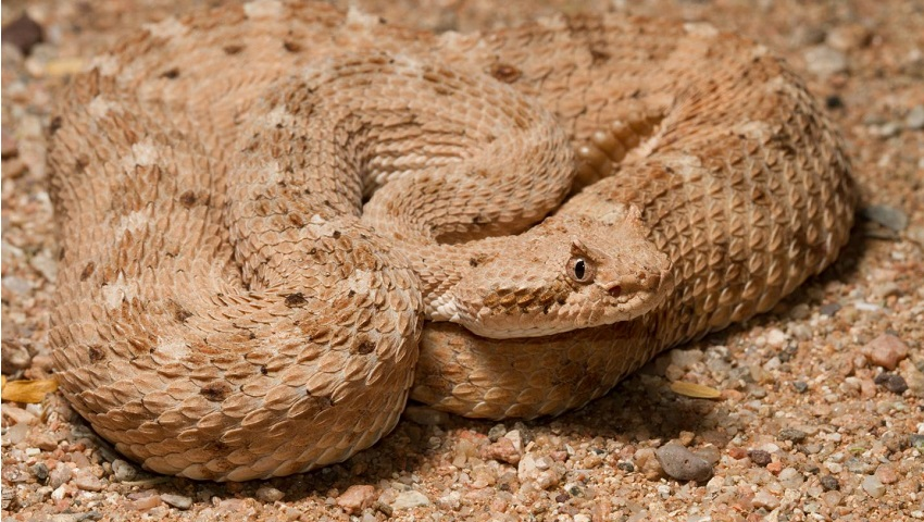 A sidewinder snake is well camouflaged with the sand it sits on in the shape of a sine wave