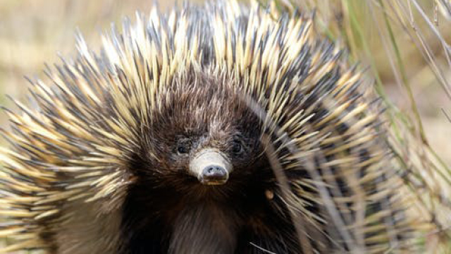 Dig this: echidnas tackle climate change