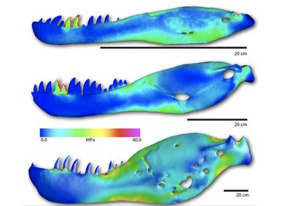 Comparison views of Raptorex kriegesteini, juvenile T.rex and adult T.rex jaw