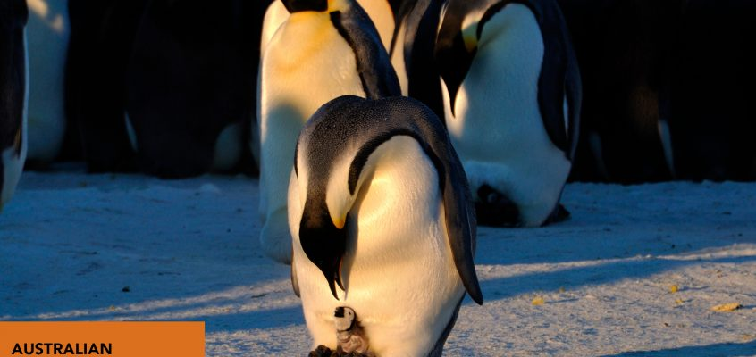 Antarctica: Animal Adaptations