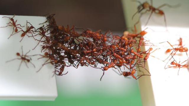 The amazing engineering of army ants can teach us to build better
